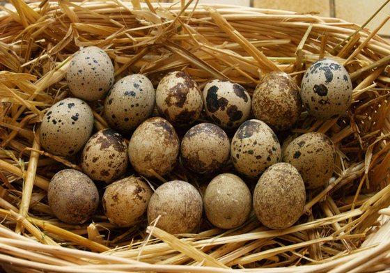 Перепелиные яйца: состав, свойства, польза и лечение