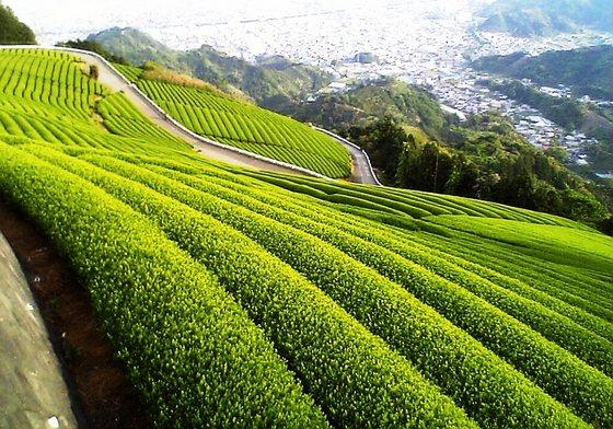 Зеленый чай: польза и вред, свойства. Как правильно заваривать